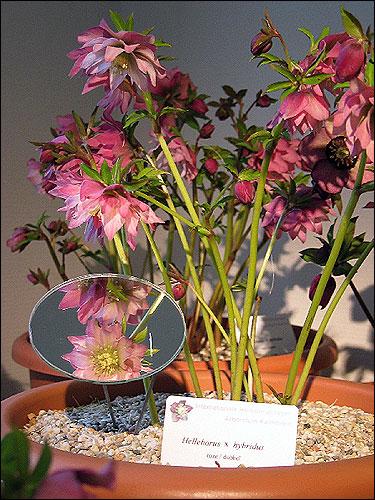 Helleborus Hybride rosa gefüllt