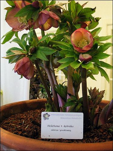 Helleborus Hybride ohne Namen, rosa, grossblütig