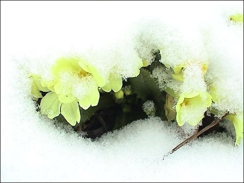 Primula vulgaris, Kissenprimel
