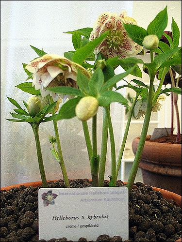 Helleborus Hybride ohne Namen, creme, gepunktet, halbgefüllt