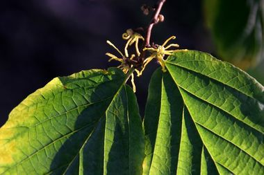 Die Wildform Hamamelis virginiana