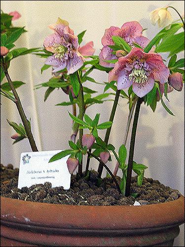 Helleborus Hybride ohne Namen, rosa-gepunktet, doppelt