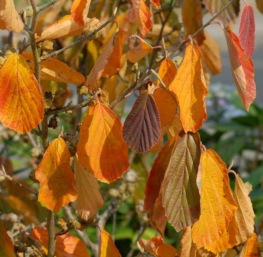 Herbstfärbung von Hamamelis x intermedia 'Pallida'