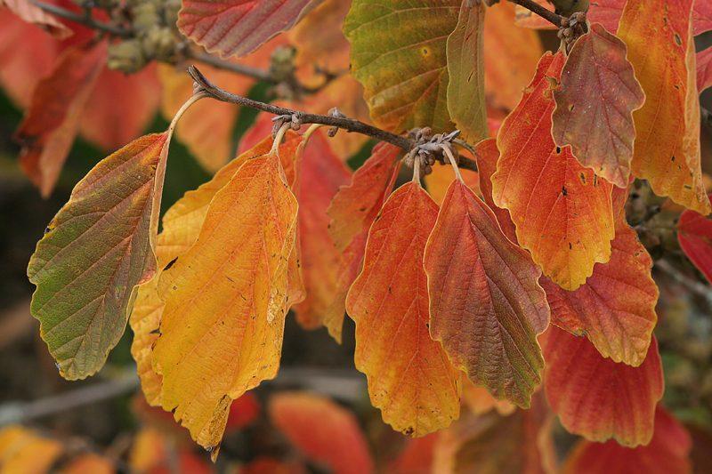 Herbstkleid von Hamamelis vernalis Sandra