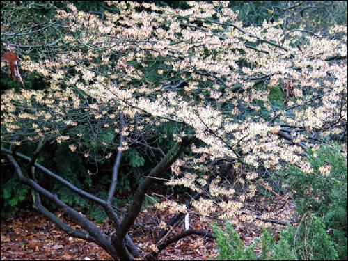 Hamamelis-Blütenschleier, zartgelb