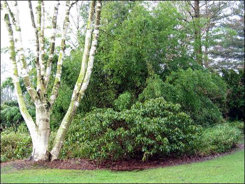 Riesenbambus als Hintergrund zu Birke und Rhododendron