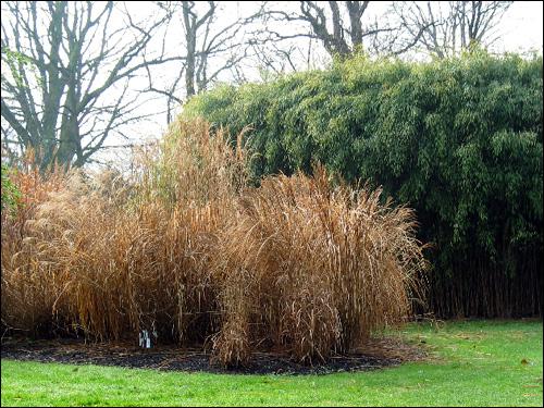 Riesenbambus zu hohen Gräsern