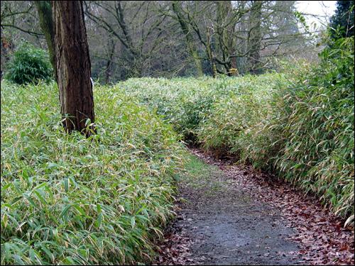 Niedriger Bambus als Bodendecker