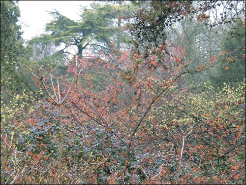 Hamamelis-Blütenschleier, rot und gelb