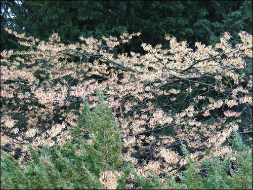 Hamamelis Blütenschleier zartgelb hinter niedrigem Immergrün