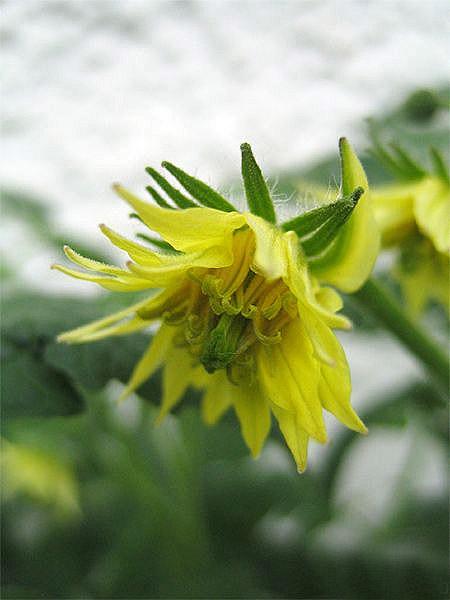 Blüte von Tiger Paw