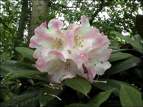 Rhododendron insigne unter Pappeln