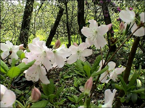 Rhododendron schlippenbachii unter Pappeln