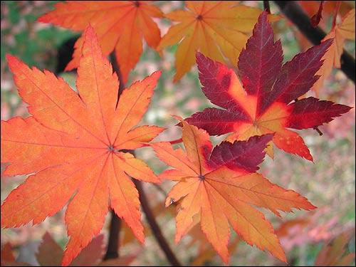 Herbstfärbung - Acer pseudosieboldianum,  koreanischer Fächerahorn