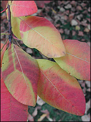 Cotinus coggygria Wildform