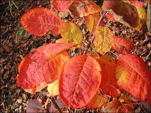 Cotinus obovatus - Herbstfeuer