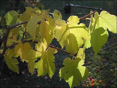 Herbstfärbung - Morus nigra, Schwarze