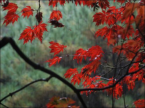 Herbstfärbung - Acer japonicum 'Aconitifolium'