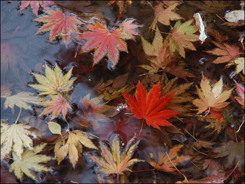 Herbstfärbung - Acer shirasawanum aureum, Goldahorn in Pfütze
