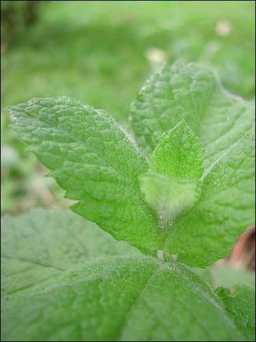 Apfelminze, Mentha rotundifolia