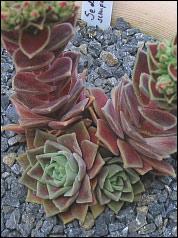 Die pflanzen im steingarten