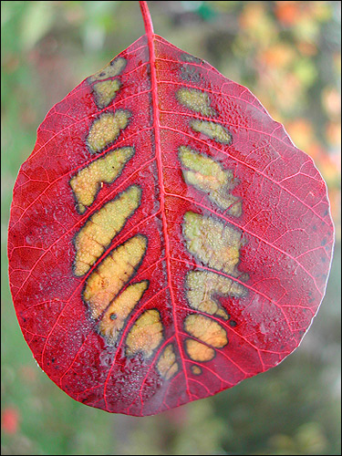 Cotinus coggygria 'Rubrifolus' -  Herbstschauspiel 2