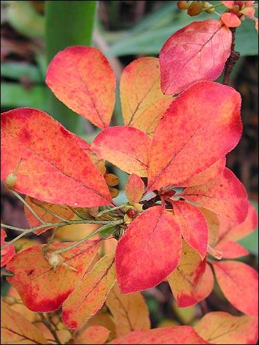 Herbstfärbung - Enkianthus campanulatus, Prachtglocke