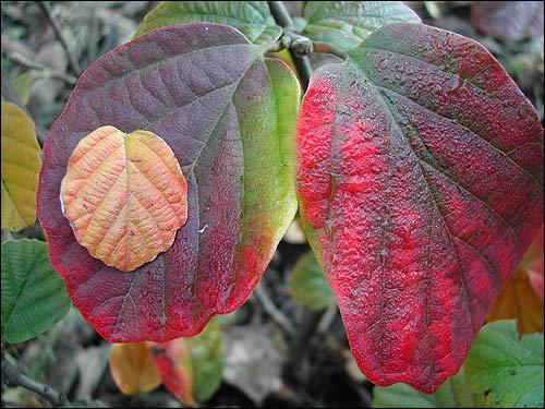 Herbstfärbung - Fothergilla major, Federbuschstrauch