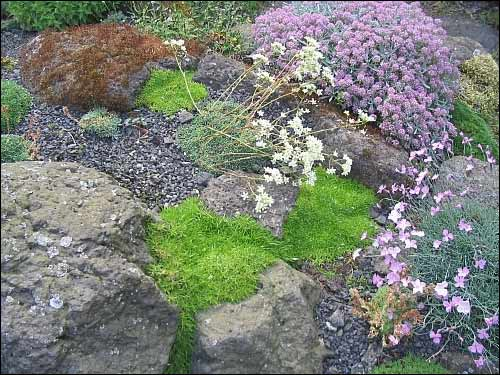 Steingarten - Minuartia  (grob: M. parnassica, fein: M. graminifolia subsp. rosani)