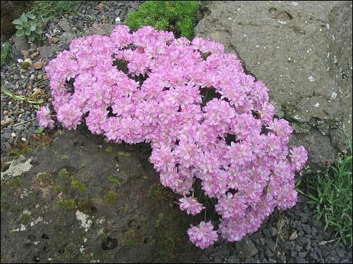 Steingarten - Armeria juniperifolia