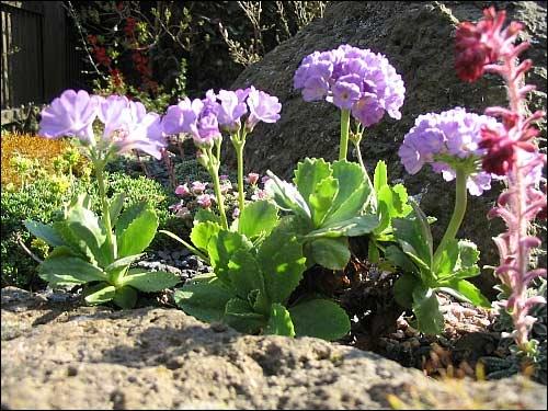 Steingarten - Primula (Art unbekannt)