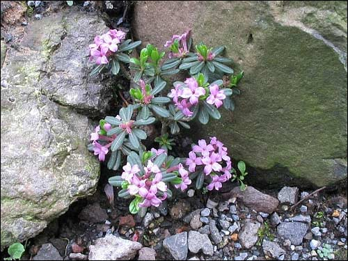 Steingarten - Daphne sericea