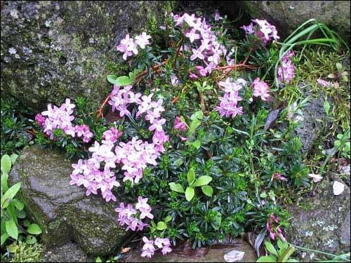 Steingarten - Daphne arbuscula