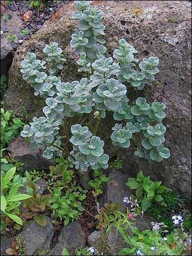 Steingarten - Salix x boydii