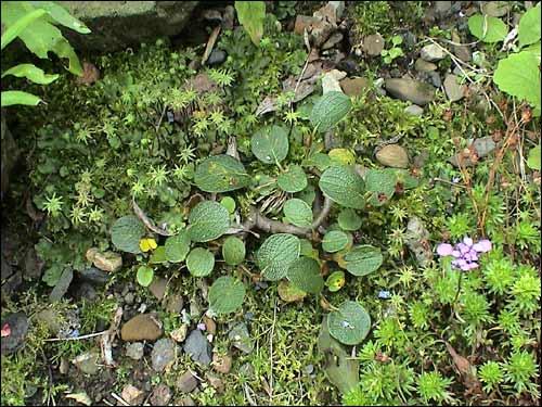 Steingarten - Salix reticulata