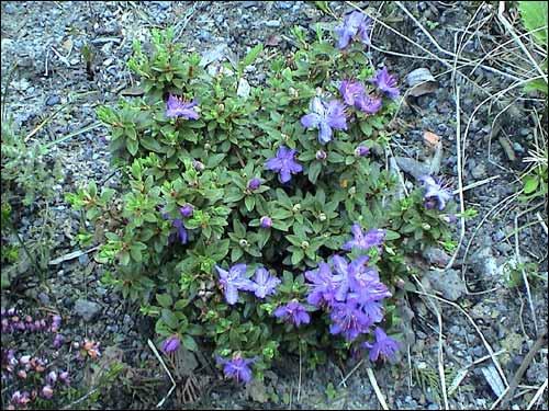 Steingarten - Rhododendron nitidulum var. Omeiense