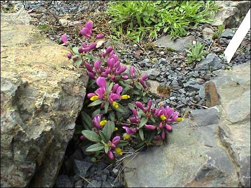 Steingarten - Polygala chamaebuxus 'Grandiflora'