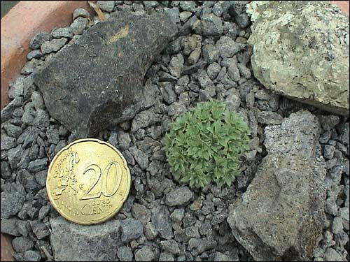 Steingarten - Kelseya uniflora
