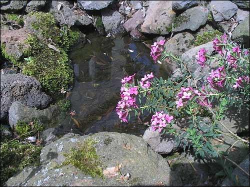 Steingarten - Daphne cneorum