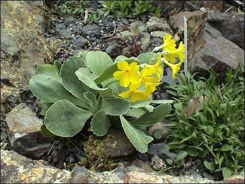 Steingarten - Primula auricula (mit Blüte)