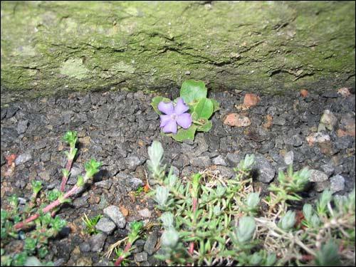 Steingarten - Primula recubariensis