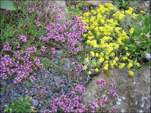 Steingarten - Versponnen (Thymian mit Alyssum aizoides)