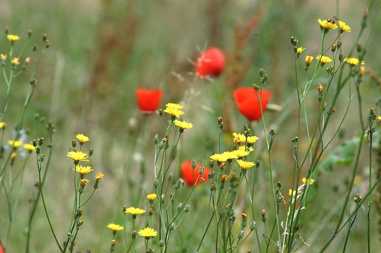 Mohn und andere Wiesenblumen