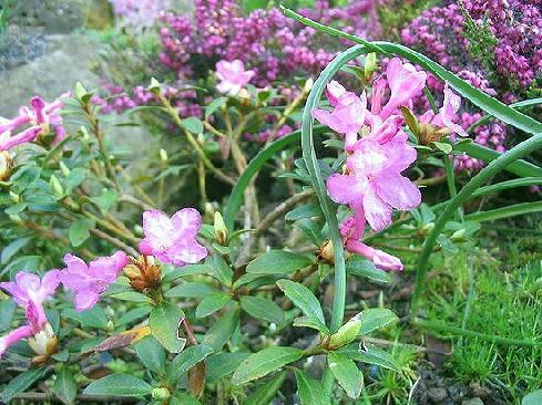 Rh. myrtifolium