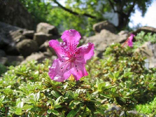 Rh. c. ssp. keleticum radicans