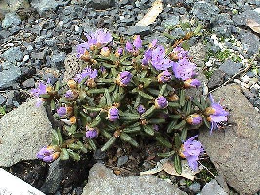 Rh. impeditum (Zwergform)