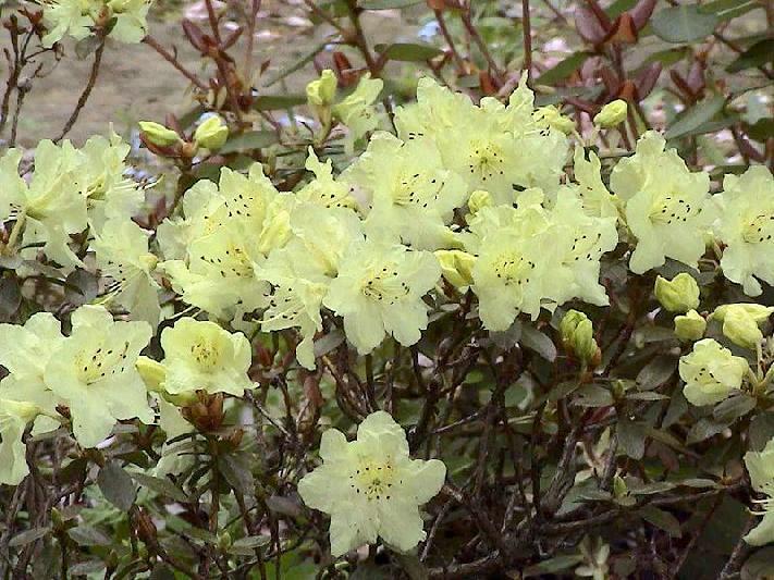 Rh. rupicola var. chryseum