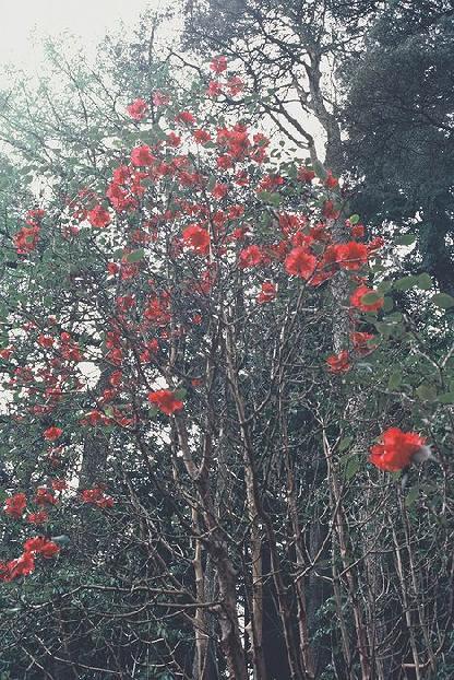 Rh. thomsonii Schottland