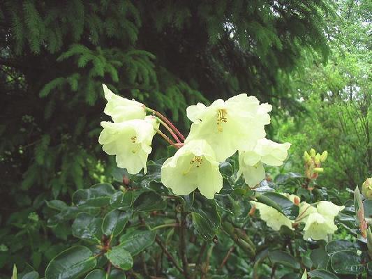 Rh. wardii var. croceum
