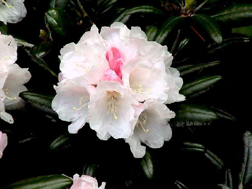 Rh. yakushimanum Koichiro Wada Blüten